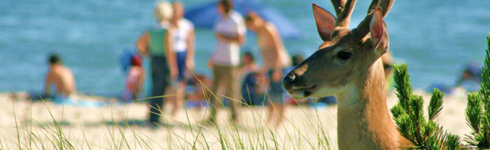 Scenes from Fire Island: Deer on the Beach